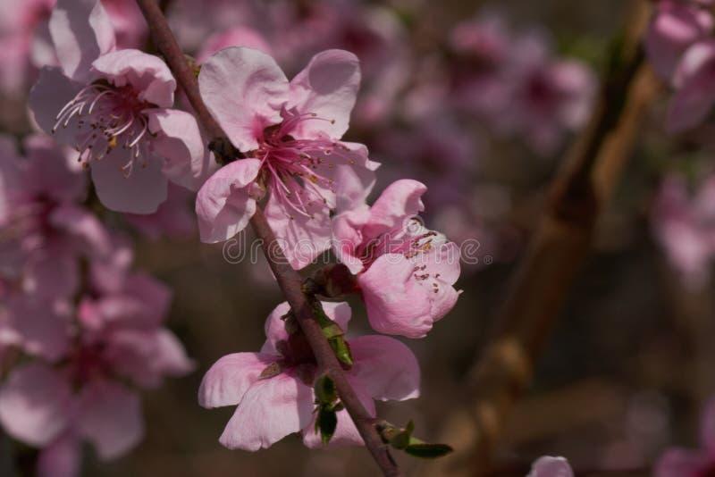 Flor del flor del melocotón en primavera imagen de archivo libre de regalías