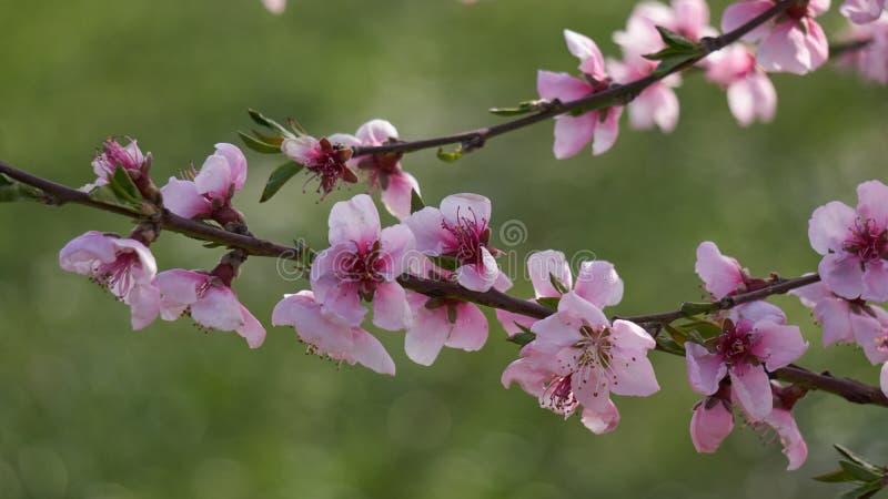 Flor del flor del melocotón en primavera imágenes de archivo libres de regalías