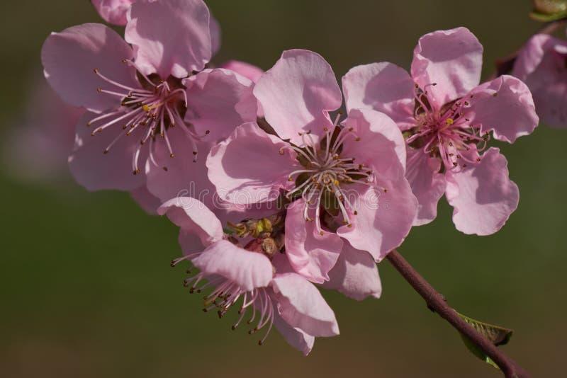Flor del flor del melocotón en primavera fotografía de archivo libre de regalías