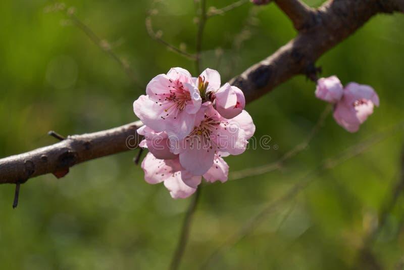 Flor del flor del melocotón en primavera imagenes de archivo