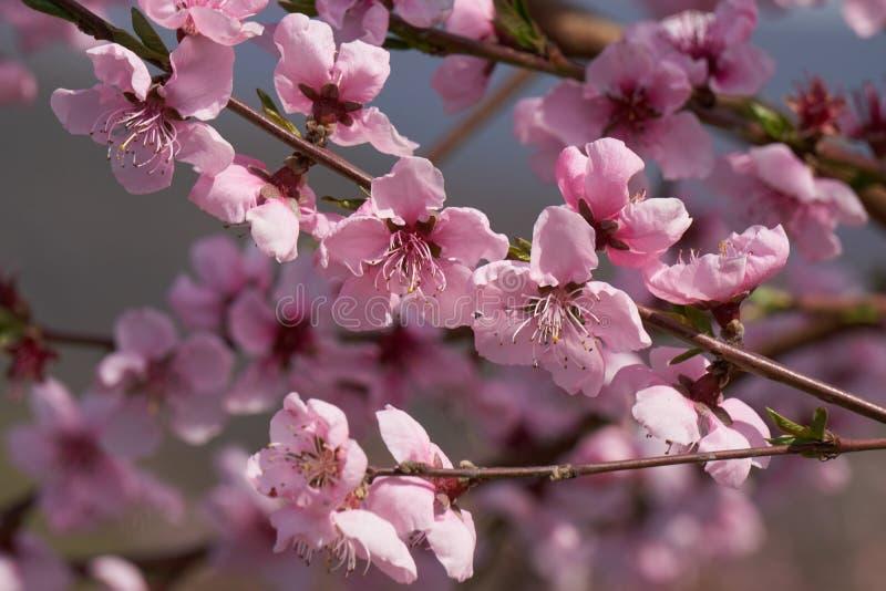 Flor del flor del melocotón en primavera imagen de archivo