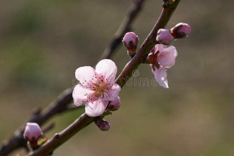 Flor del flor del melocotón en primavera fotografía de archivo