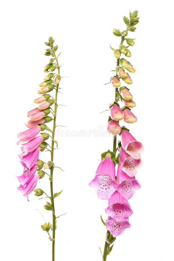 Flor del Foxglove foto de archivo libre de regalías