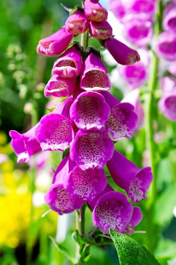 Flor del Foxglove imagen de archivo