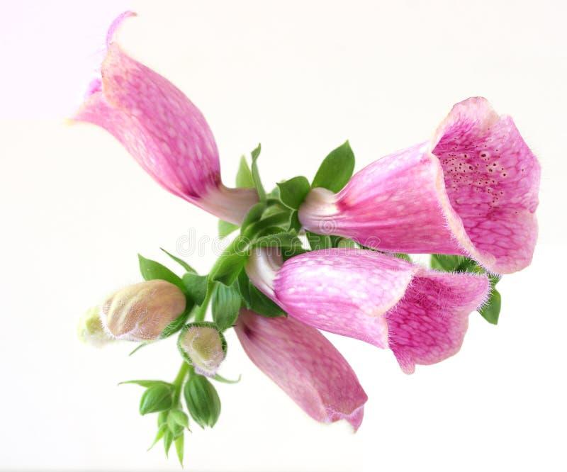 Flor del Foxglove imagenes de archivo