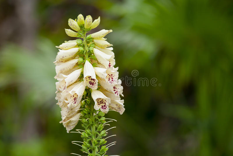 Flor del Foxglove (purpurea de la digital) imágenes de archivo libres de regalías