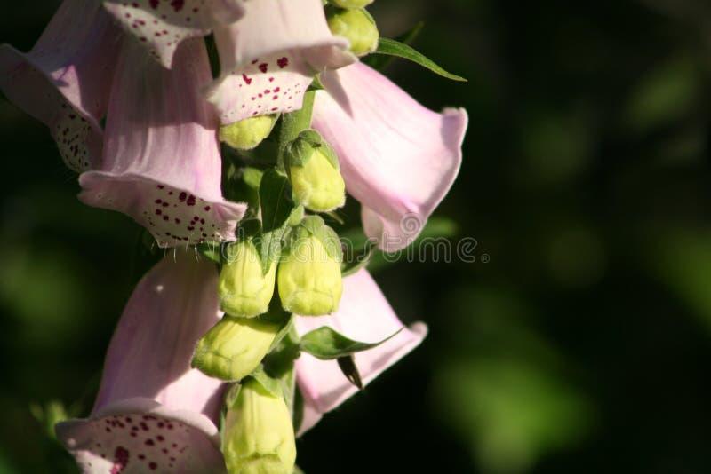 Flor del Foxglove (purpurea de la digital) fotografía de archivo