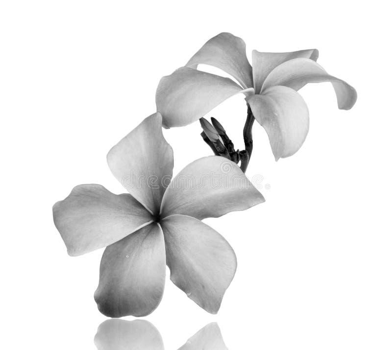 Flor del Frangipani blanco y negro imágenes de archivo libres de regalías