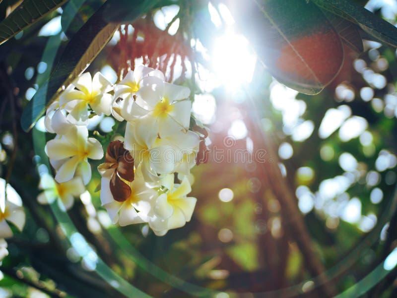 Flor 2 del Frangipani de Palu City de Indonesia fotografía de archivo libre de regalías