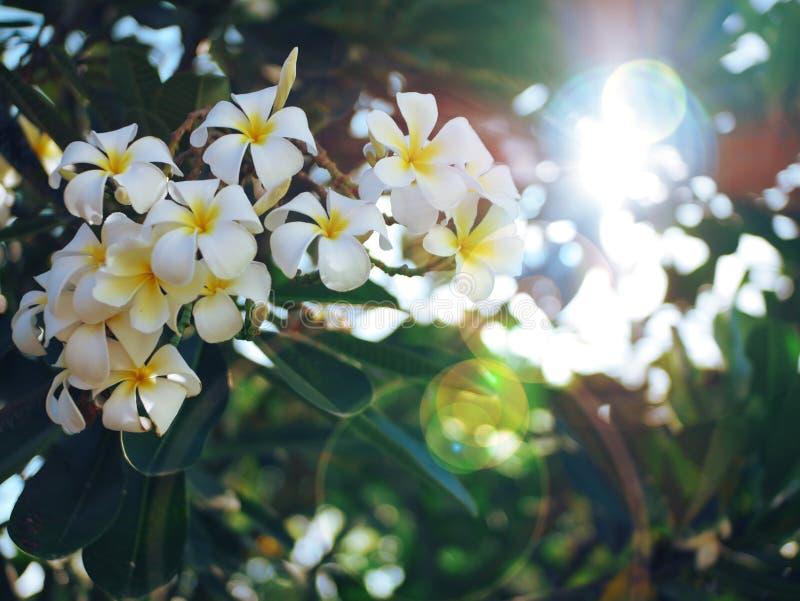 Flor del Frangipani de Palu City de Indonesia foto de archivo libre de regalías