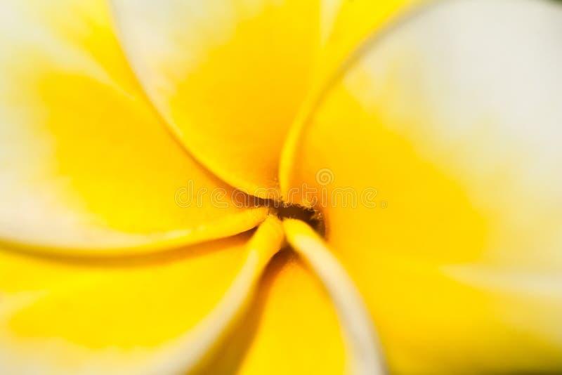 Flor del Frangipani/del Plumeria foto de archivo