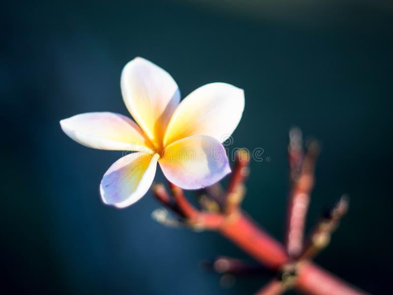 Flor del Frangipani/del Plumeria en el jardín Chiang Rai del Plumeria fotografía de archivo