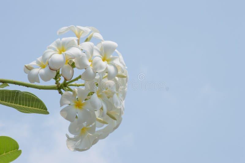 Flor del Frangipani en el jard?n foto de archivo libre de regalías