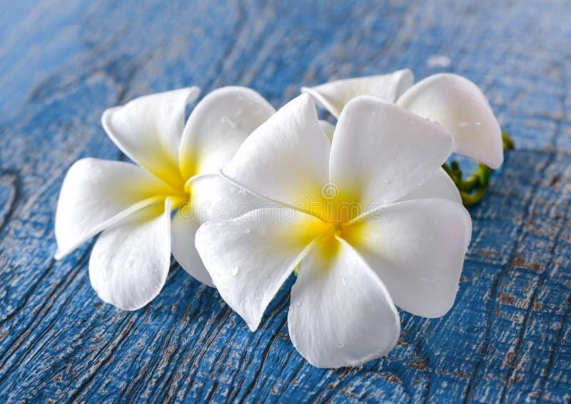 Flor del Frangipani en la tabla azul foto de archivo libre de regalías