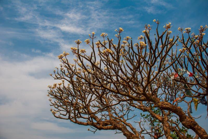 Flor del Frangipani Plumeria fotografía de archivo libre de regalías