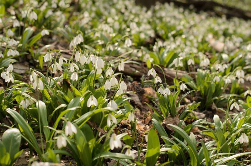 Flor del galanthus de Snowdrop fotografía de archivo