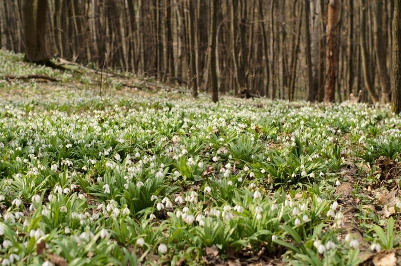 Flor del galanthus de Snowdrop fotos de archivo libres de regalías