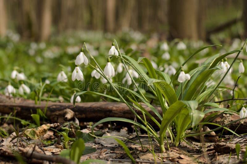 Flor del galanthus de Snowdrop imagenes de archivo
