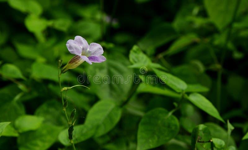 Flor del gangetica de Asystasia fotos de archivo libres de regalías