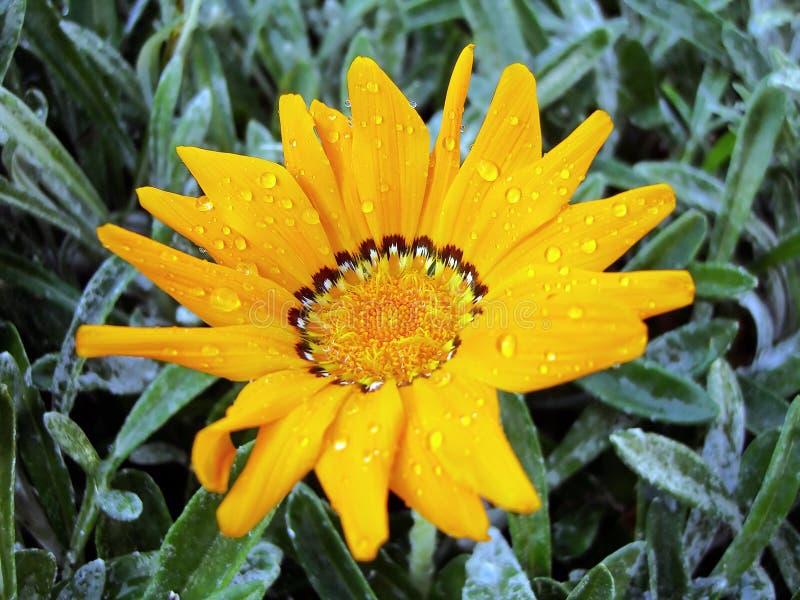 Flor del Gazania imagen de archivo