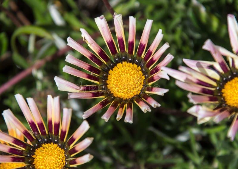 Flor del Gazania de Jordania imagen de archivo