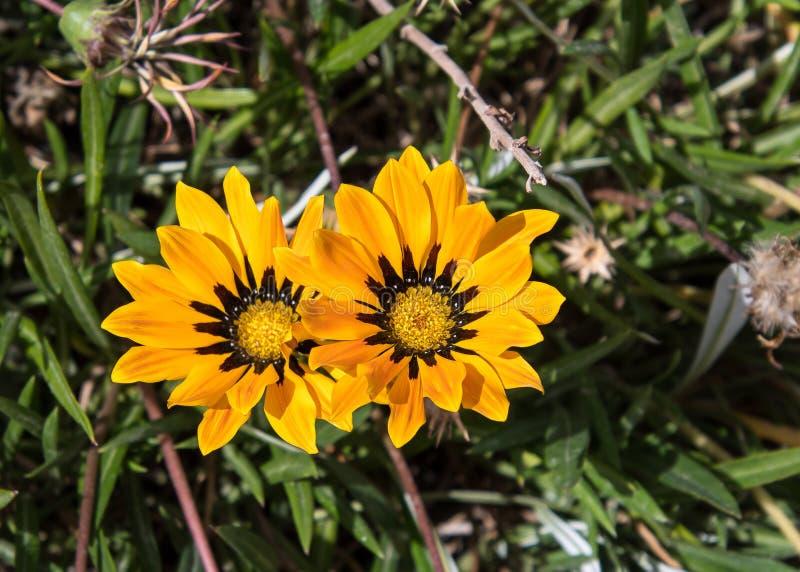 Flor del Gazania de Jordania fotos de archivo