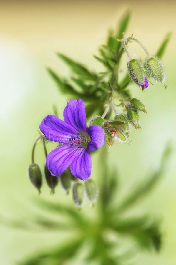 Flor del geranio del bosque con los brotes fotos de archivo