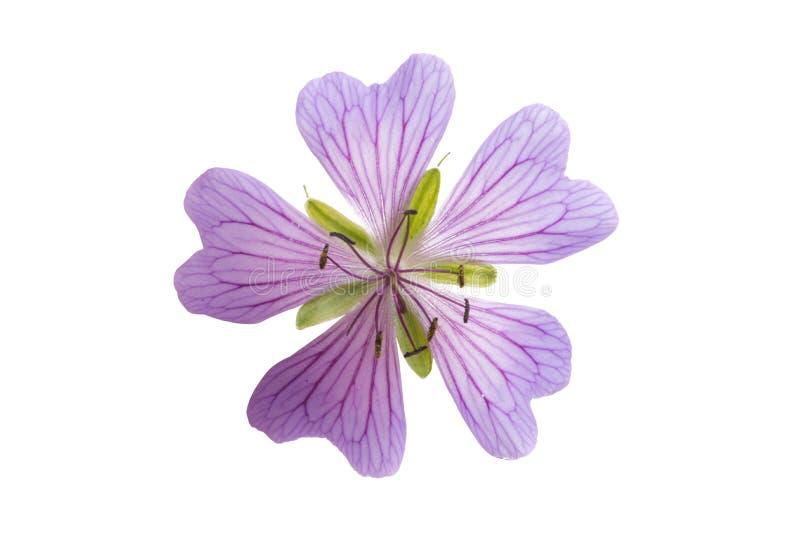 flor del geranio de la lila aislada imagen de archivo