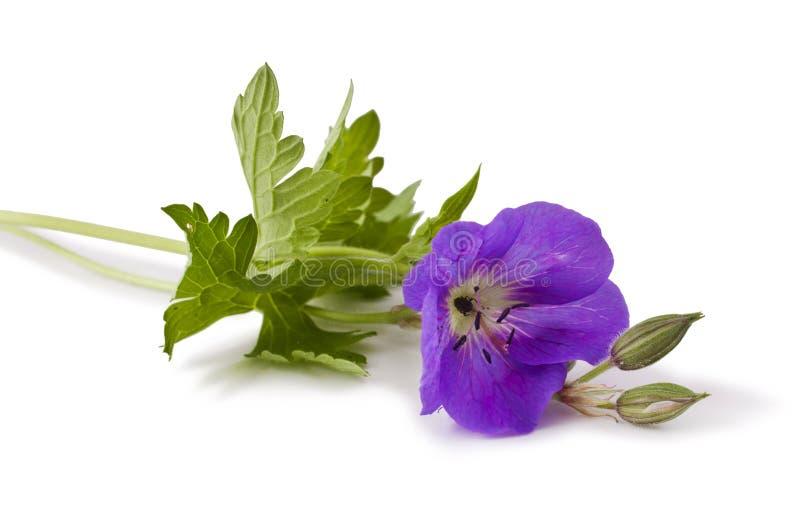 Flor del geranio del prado fotos de archivo