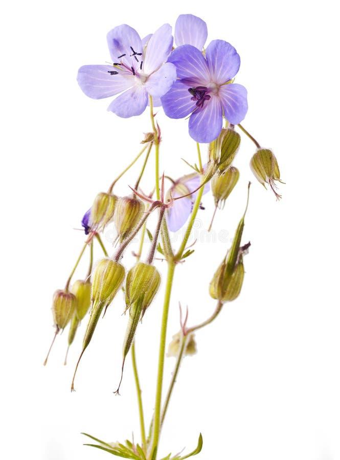 Flor del geranio (el azul de Johnson) fotografía de archivo