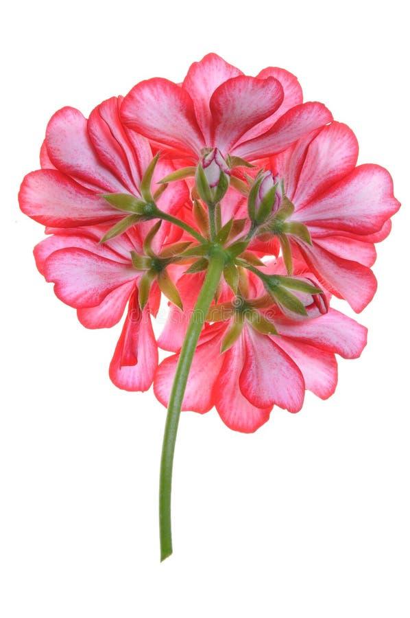 Flor del geranio, posterior foto de archivo