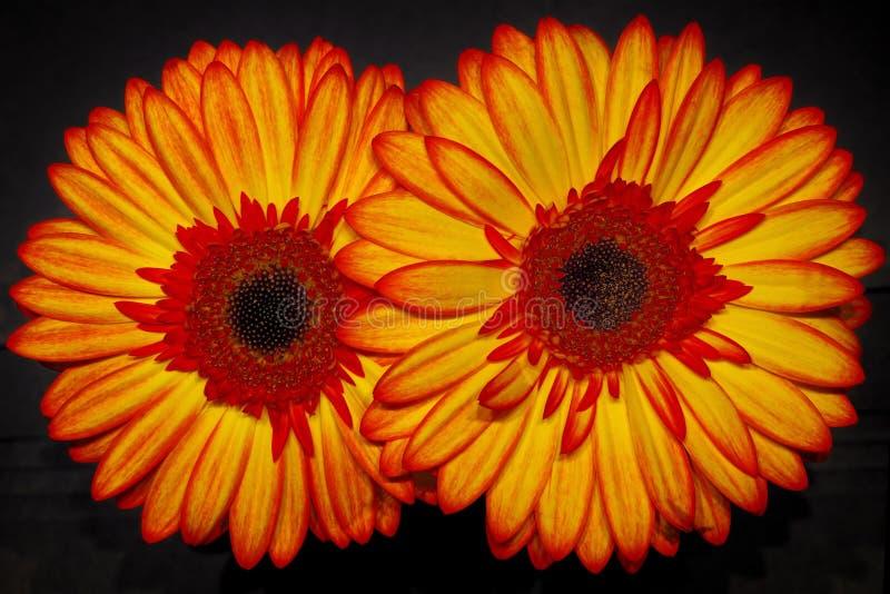 Flor del Gerbera foto de archivo libre de regalías