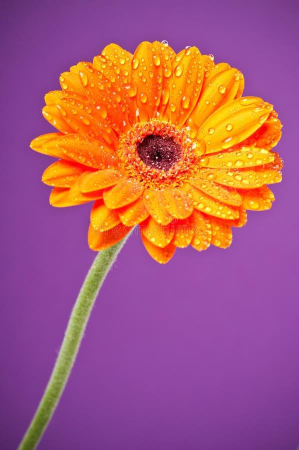 Flor del Gerbera de la margarita anaranjada en púrpura imágenes de archivo libres de regalías