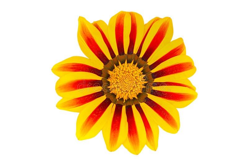 Flor del Gerbera en el fondo blanco Visión superior imagenes de archivo