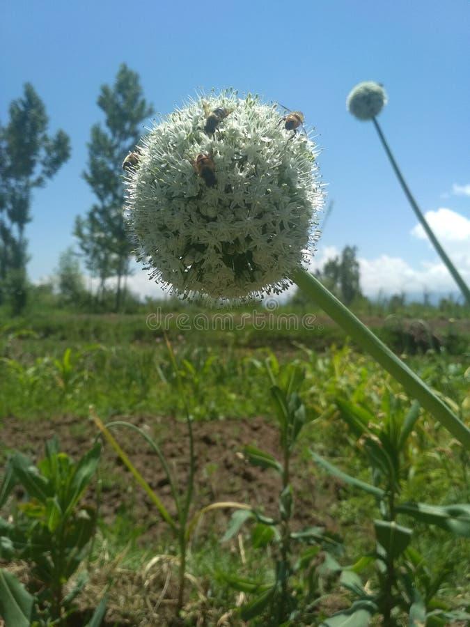 Flor del germen de la cebolla imagen de archivo libre de regalías