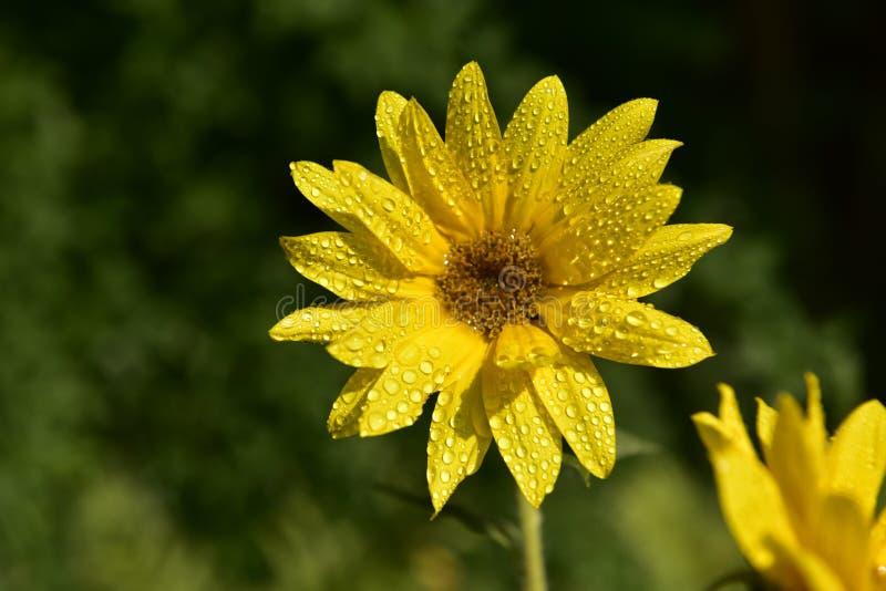 Flor del girasol imagenes de archivo