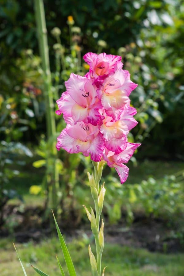Flor del gladiolo en el jardín en Polonia imagenes de archivo