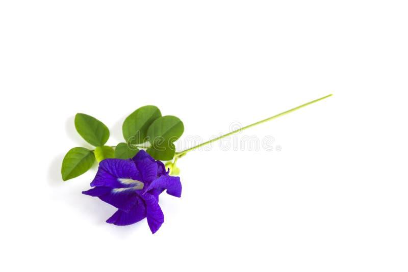 Flor del guisante de mariposa con las hojas imagen de archivo