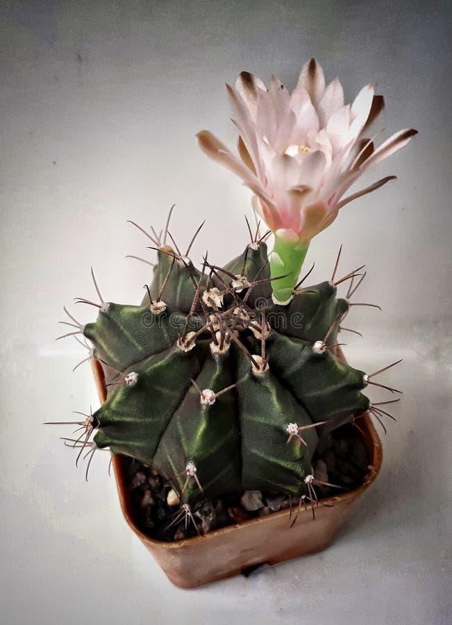 Flor del Gymnocalycium foto de archivo