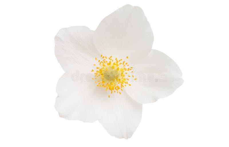 Flor del Hellebore aislada imagenes de archivo