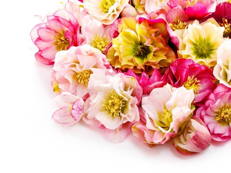 Flor del Hellebore u orientalis del Helleborus aislados en blanco imagen de archivo