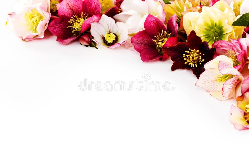 Flor del Hellebore u orientalis del Helleborus aislados en blanco fotos de archivo libres de regalías