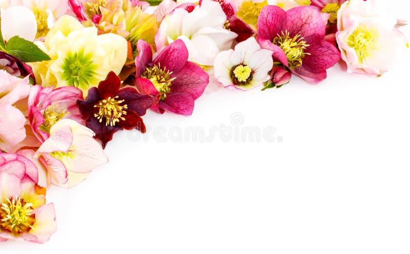 Flor del Hellebore u orientalis del Helleborus en blanco foto de archivo