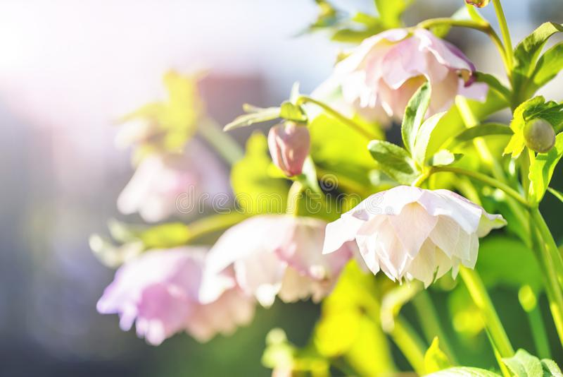 Flor del Hellebore u orientalis del Helleborus en bokeh foto de archivo libre de regalías