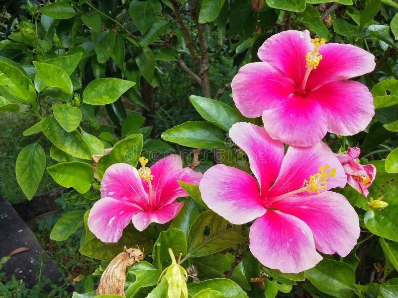 flor del hibicus en jardín imagenes de archivo