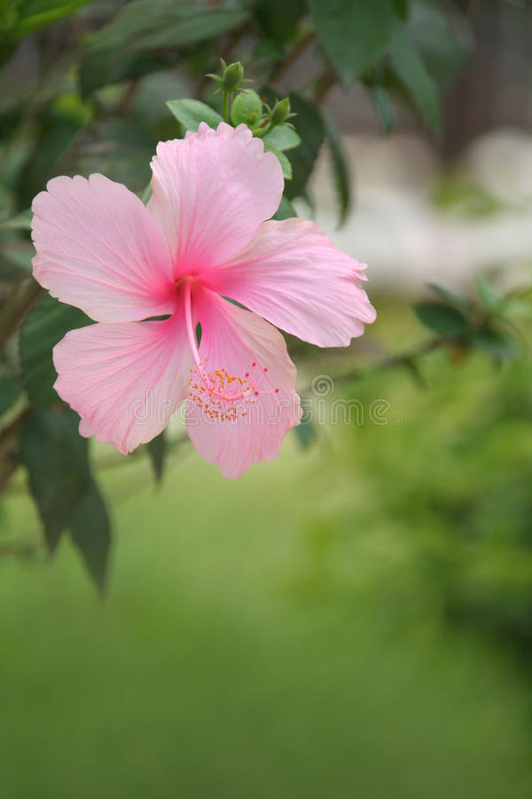 Flor del hibisco imagenes de archivo