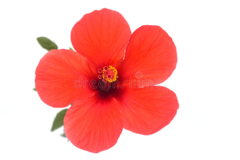 Flor del hibisco imágenes de archivo libres de regalías