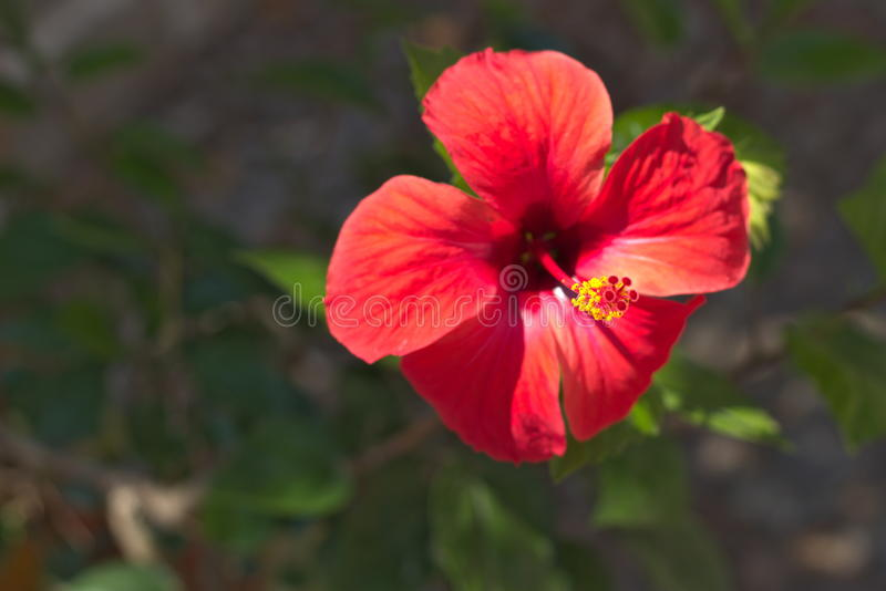 Flor del hibisco fotos de archivo