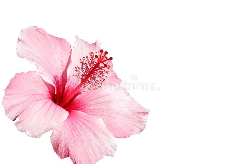 Flor del hibisco aislada fotografía de archivo