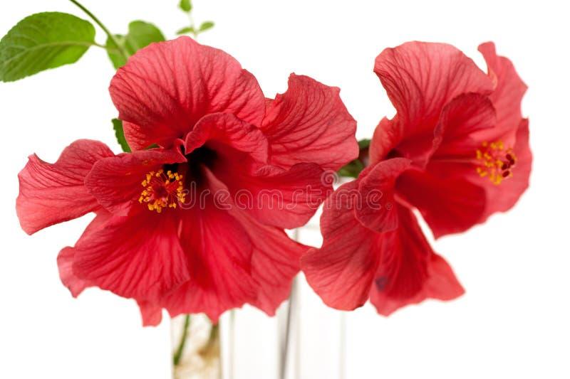 flor del hibisco aislada en blanco imagen de archivo libre de regalías